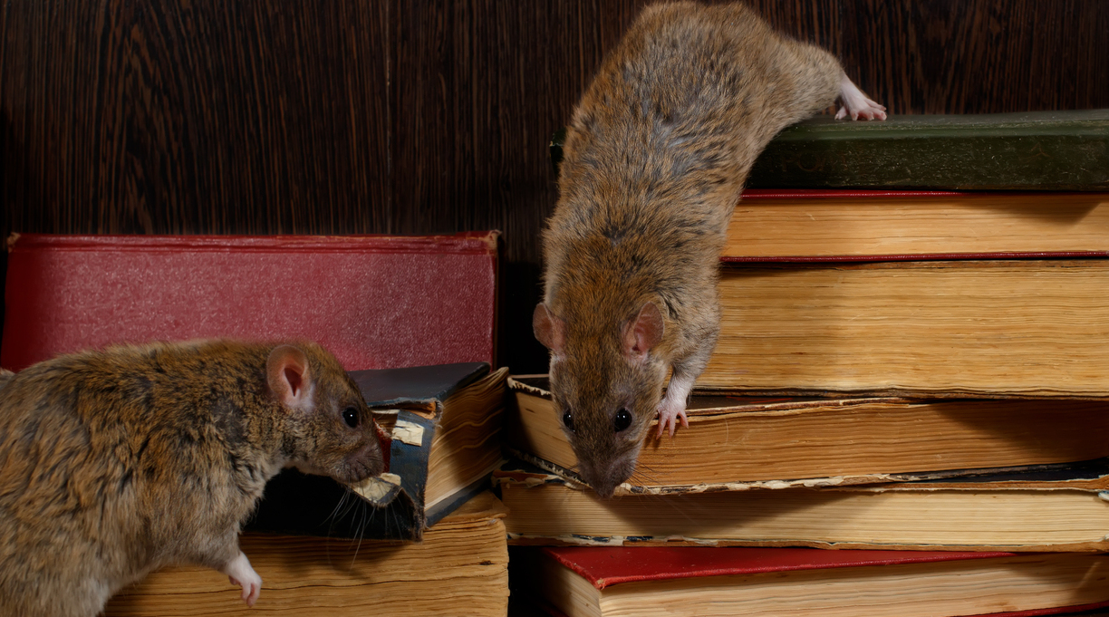 Rats Discovered in Idaho Library Book Drop